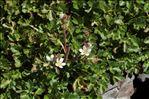 Saxifraga geranioides L.