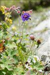 Geranium ibericum Cav.
