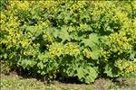 Alchemilla mollis (Buser) Rothm.