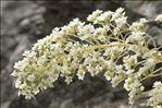 Saxifraga longifolia Lapeyr.
