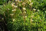 Saxifraga moschata var. fastigiata (Luizet) Engl. & Irmsch.
