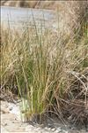 Photo 3/3 Spartina versicolor Fabre
