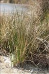 Photo 2/3 Spartina versicolor Fabre