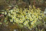 Photo 4/4 Saxifraga muscoides All.