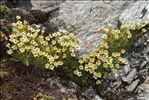 Photo 1/4 Saxifraga muscoides All.