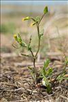 Senecio vulgaris subsp. denticulatus (O.F.Müll.) P.D.Sell