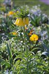 Fritillaria imperialis L.