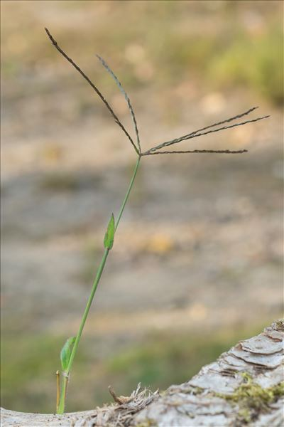 Digitaria sanguinalis (L.) Scop.