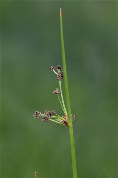 Scirpoides holoschoenus subsp. romanus (L.) auct.