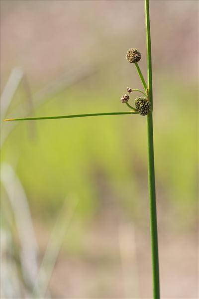 Scirpoides holoschoenus (L.) Soják