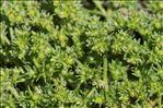 Scleranthus uncinatus Schur