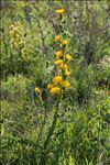 Scolymus grandiflorus Desf.