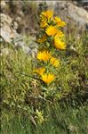 Photo 2/9 Scolymus grandiflorus Desf.