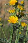 Photo 5/9 Scolymus grandiflorus Desf.