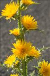 Photo 4/9 Scolymus grandiflorus Desf.