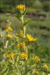 Photo 2/4 Scolymus hispanicus L.