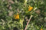 Scolymus hispanicus L.