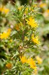 Photo 3/4 Scolymus hispanicus L.
