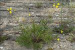 Photo 2/19 Diplotaxis tenuifolia (L.) DC.