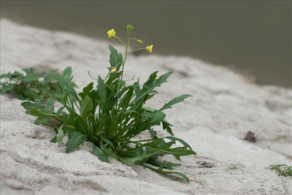 Diplotaxis tenuifolia (L.) DC.