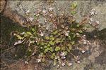 Sedum anglicum f. pyrenaicum (Lange) auct.