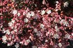 Sedum brevifolium DC.