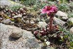 Sempervivum arachnoideum L.
