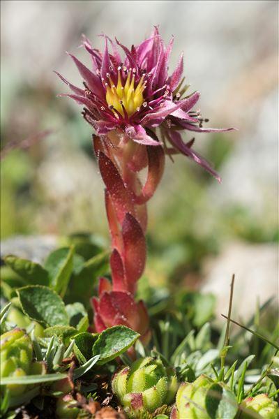 Sempervivum montanum L.