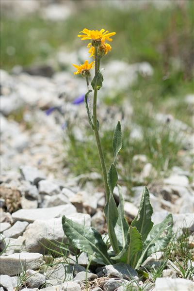 Senecio doronicum (L.) L.