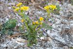 Senecio leucanthemifolius subsp. crassifolius (Willd.) Ball