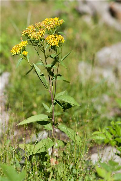 Senecio ovatus (P.Gaertn., B.Mey. & Scherb.) Willd.