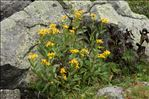 Senecio pyrenaicus L.