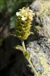 Sideritis hyssopifolia subsp. guillonii (Timb.-Lagr.) Nyman