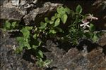 Silene cordifolia All.