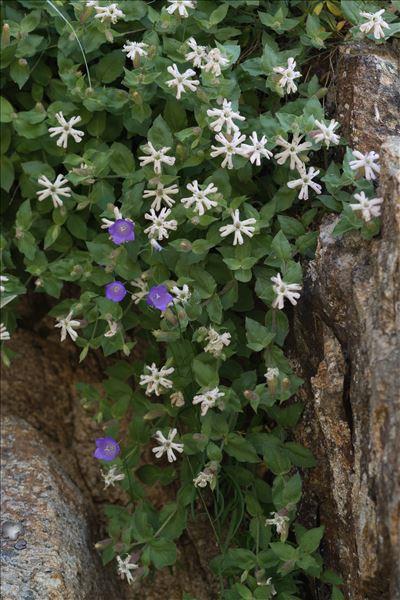 Silene cordifolia All.