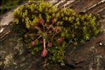 Photo 4/8 Drosera rotundifolia L.