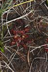 Photo 5/8 Drosera rotundifolia L.