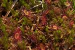 Photo 7/8 Drosera rotundifolia L.