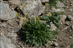 Sisymbrium austriacum Jacq.