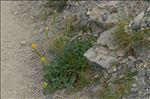 Photo 1/1 Sisymbrium austriacum Jacq.