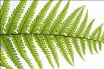 Dryopteris affinis (Lowe) Fraser-Jenk.