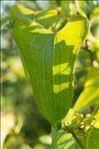 Photo 2/3 Smilax aspera L.