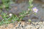 Spergula marina (L.) Bartl. & H.L.Wendl.
