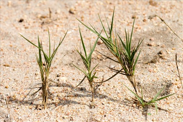 Sporobolus pungens (Schreb.) Kunth