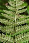 Dryopteris dilatata (Hoffm.) A.Gray