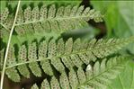 Photo 2/7 Dryopteris dilatata (Hoffm.) A.Gray