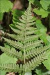 Photo 1/7 Dryopteris dilatata (Hoffm.) A.Gray