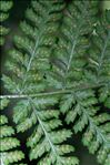 Photo 5/7 Dryopteris dilatata (Hoffm.) A.Gray