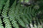 Photo 3/7 Dryopteris dilatata (Hoffm.) A.Gray