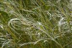 Stipa pennata L. subsp. pennata